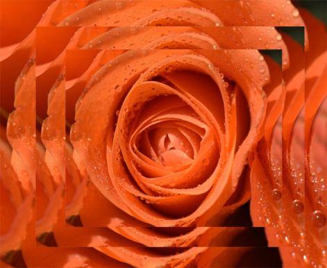 roses2020.jpg